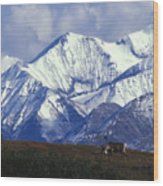 Barren-ground Caribou Rangifer Tarandus Wood Print by Nick Norman