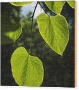 Basswood Leaves Against Dark Forest Background Wood Print