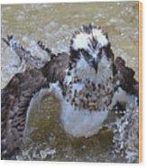 Bathing Osprey Bird Splashing About Wood Print