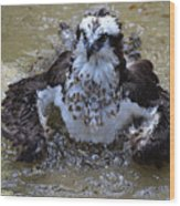 Bathing Osprey In Shallow Water Wood Print