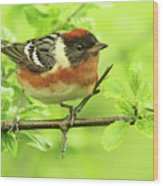 Bay-breasted Warbler Wood Print