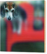 Beagle Beba Portrait Wood Print
