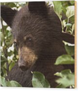 Bear Cub In Apple Tree2 Wood Print