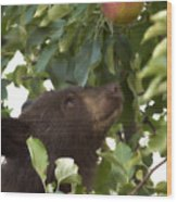 Bear Cub In Apple Tree4 Wood Print