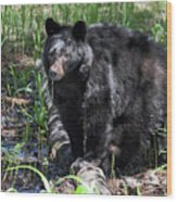 Bear Cub In Whistler Wood Print