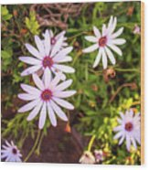 Beautiful African White Daisies Wood Print