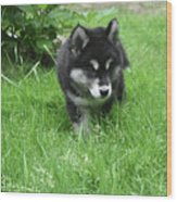 Beautiful Alusky Puppy Dog Walking Through Thick Green Grass Wood Print