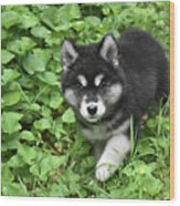Beautiful Alusky Puppy Peaking Out Of Green Foliage Wood Print