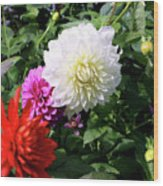 Beautiful And Fresh Dahlias In The Butchrt  Gardens,vancouver Island 1. Wood Print
