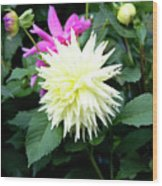 Beautiful And Fresh Dahlias In The Butchrt  Gardens,vancouver Island 2. Wood Print