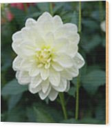 Beautiful And Fresh Dahlias In The Butchrt  Gardens,vancouver Island 3. Wood Print