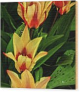 Beautiful Bicolor Tulips Wood Print