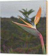 Beautiful Bird Of Paradise Flower In A Tropical Garden  Wood Print