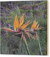 Beautiful Bird Of Paradise Flower In Bloom Wood Print