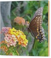 Beautiful Black Swallowtail Butterfly Wood Print