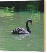 Beautiful Black Swan  Wood Print