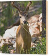 Beautiful Buck In The Pike National Forest Wood Print