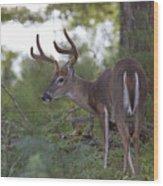 Beautiful Buck In Velvet Wood Print