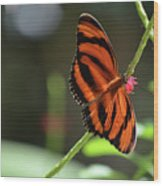 Beautiful Color Patterns To An Oak Tiger Butterfly  Wood Print
