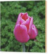 Beautiful Dark Pink Tulip Flower Blossom In A Garden Wood Print