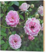 Beautiful Delicate Pink Roses On Green Leaves Background. Wood Print