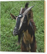 Beautiful Face Of A Billy Goat With Tan And Black Silky Fur Wood Print