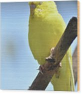 Beautiful Face Of A Yellow Budgie Bird Wood Print