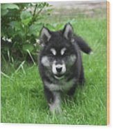Beautiful Face Of An Alusky Puppy Dog In Thick Green Grass Wood Print