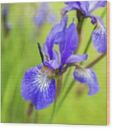Beautiful Flower Iris Wood Print