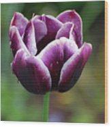 Beautiful Flowering Purple Tulip Flower Blossom In Spring Wood Print