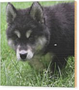 Beautiful Furry Black And White Alusky Only Two Months Old  Wood Print