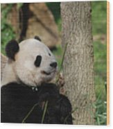 Beautiful Giant Panda Bear In The Wild Wood Print