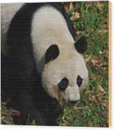 Beautiful Giant Panda Bear Walking Through A Field Wood Print