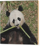 Beautiful Giant Panda Eating Bamboo From The Center Wood Print