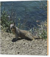 Beautiful Ground Squirrel Standing At The Edge Of The Coast Wood Print
