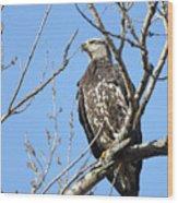 Beautiful Juvenile Eagle Wood Print