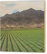 Beautiful Lettuce Field Wood Print