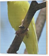 Beautiful Little Yellow Budgie Bird In Nature Wood Print