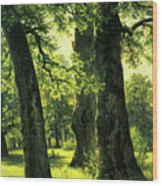 Beautiful Oak Trees Reach To The Skies Wood Print