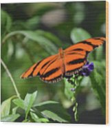 Beautiful Orange Oak Tiger Butterfly In Nature Wood Print