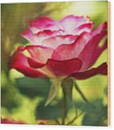Beautiful Pink Rose Blooming In Garden Wood Print