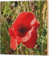 Beautiful Red Poppy Wood Print
