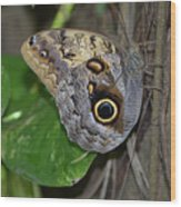 Beautiful Shot Of A Brown Morpho Butterfly Resting  Wood Print