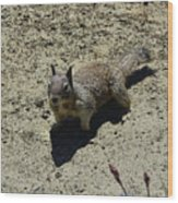 Beautiful Squirrel Standing In A Sandy Area In California Wood Print