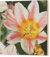 Beautiful Tulip With A Yellow Center And Pink Striped Petals Wood Print