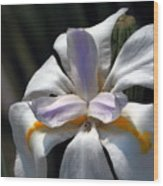 Beautiful White Day Lily Wood Print