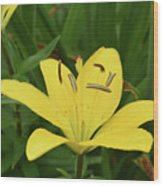 Beautiful Yellow Lily In A Garden During Spring Wood Print