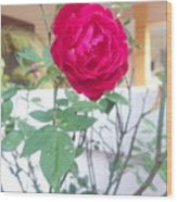 Beauty Of  Red Rose  Wood Print