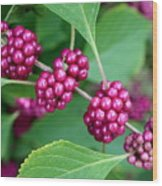 Beautyberry Bush Wood Print