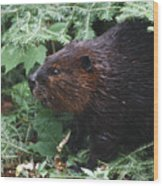 Beaver In Forest Wood Print